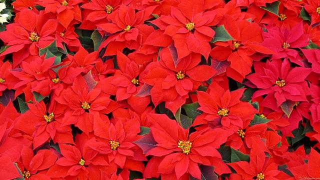 Red-Poinsettias.jpg